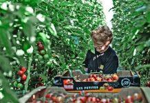 tomates-xoris-fitofarmaka