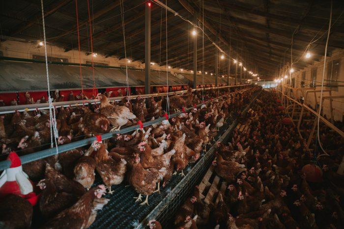 τα βιολογικά αβγά που παράγουν οι 3.000 κότες που εκτρέφουν