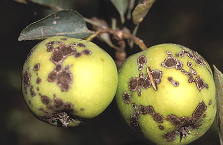 Η ασθένεια οφείλεται στον μύκητα Venturia inaequalis, του οποίου η ατελής μορφή, που είναι και η παρασιτική μορφή του παθογόνου οναμάζεται Spilocaea pomi.