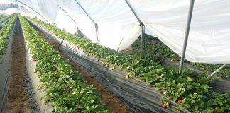 Αγώνας δρόμου για την επίσπευση των διαδικασιών νόμιμης απασχόλησης των εργατών γης στην καλλιέργεια φράουλας