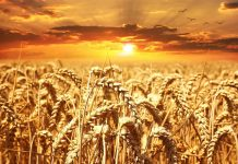 Σοβαρές επιπτώσεις στην παραγωγή σιταριού θα έχουν οι τοπικές αυξομειώσεις των βροχοπτώσεων