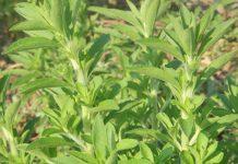 stevia-fito