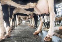 Επιστροφή στο καθεστώς διαχείρισης της προσφοράς ζητούν ολοένα και περισσότεροι γαλακτοπαραγωγοί