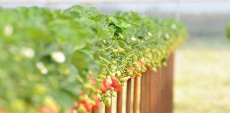 Στα αζήτητα η φράουλα Αρνητικό ρεκόρ 20ετίας σε Ηλεία και Αχαΐα