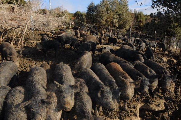 Σπάει τα στερεότυπα στην εκτροφή μαύρου χοίρου