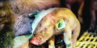 Σύγχρονες πρακτικές εκτροφής χοίρου χωρίς τη χρήση αντιβιοτικών