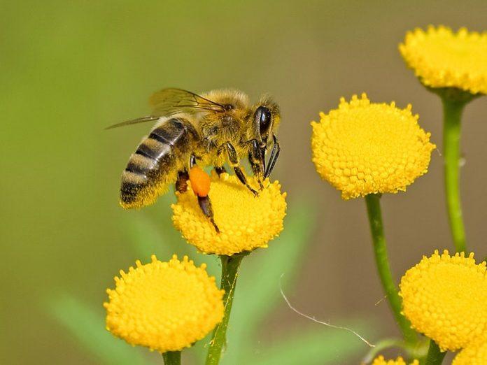 animal-bee-bloom