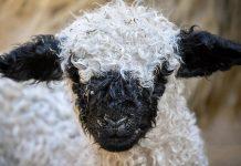 Ένα σχολείο στη Γαλλία έγραψε ως νέους μαθητές 15... πρόβατα για να μην κλείσει μια από τις τάξεις του