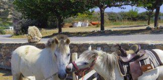 Τα σημερινά άλογα δεν μοιάζουν καθόλου με εκείνα της αρχαιότητας