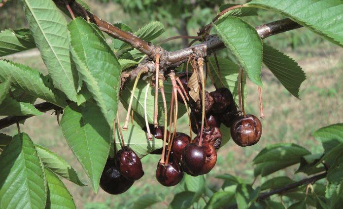 Άδεια χρήσης από το ΥΠΑΑΤ πήρε εντομοκτόνο της FMC για την προστασία της κερασιάς