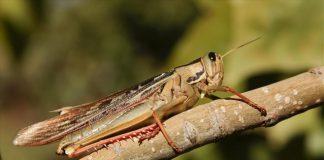 Σαρδηνία: Οι υψηλές θερμοκρασίες έφεραν τη χειρότερη εισβολή από ακρίδες. Σε απόγνωση οι αγρότες