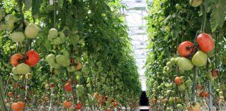 ΑΠΘ: 2oς κύκλος για το πρόγραμμα «Σύγχρονες απαιτήσεις της υδροπονικής καλλιέργειας τομάτας στο θερμοκήπιο»