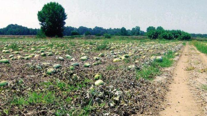 Μεγάλες οι ζημιές στις καλλιέργειες καρπουζιού στην Ηλεία