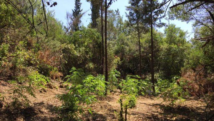Μεσσηνία: Δύο φυτείες με 1.701 δενδρύλλια σε Πυλία και Μάνη