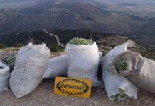 Αρκαδία: Κατάσχεση και μήνυση για παράνομα συλλεγμένο τσάι βουνού