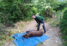 Εγκλωβισμένη σε παγίδα δίπλα σε κερασιές, βρέθηκε αρκούδα που απελευθερώθηκε από τον Αρκτούρο