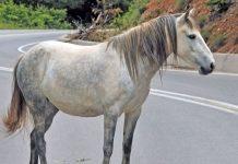 Ελεύθερο άλογο περιφερόταν στη δυτική Θεσσαλονίκη και τραυματίστηκε (βίντεο)