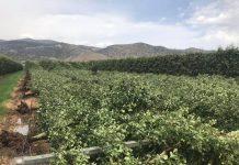 Χαλαζόπτωση και δυνατοί άνεμοι έπληξαν τον Τύρναβο - Ζημιές στις καλλιέργειες