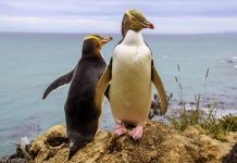 Πιγκουίνοι… διέρρηξαν εστιατόριο σούσι στη Νέα Ζηλανδία