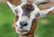 Πορτογαλία: Και οι κατσίκες επιστρατεύονται στην προσπάθεια πρόληψης των πυρκαγιών