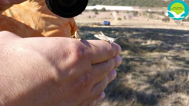 Η ακρίδα της Ηπείρου κινδυνεύει με εξαφάνιση