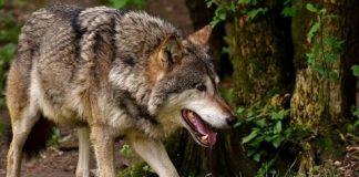Κοπάδι λύκων κατέβηκε στο Πήλιο - Σε απόγνωση οι κτηνοτρόφοι