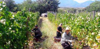 Πιερία: Ξεκίνησε ο τρύγος των οινοσταφυλών για την παράγωγη των εξαιρετικών Πιερικών Οίνων