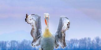 Πρώτο βραβείο για τη φωτογραφία του δαλματικού πελεκάνου της Κερκίνης