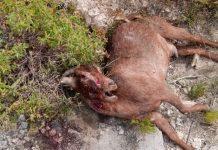 Ζημιές στο ζωικό κεφάλαιο από επιθέσεις αδέσποτων σκυλιών καταγγέλλουν οι κτηνοτρόφοι της Καβάλας