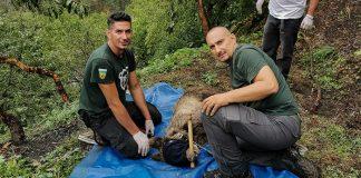 Απεγκλωβισμός παγιδευμένης αρκούδας στο Δίστρατο Κόνιτσας