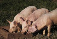 Καταγράφονται οι οικόσιτοι χοίροι λόγω της πανώλης στο Δήμο Τυρνάβου