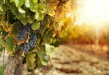ΚΕΟΣΟΕ: Ακόμη και με -16%, η Ιταλία παραμένει η πρώτη χώρα παραγωγής κρασιών στον κόσμο