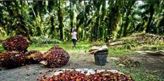 Μαλαισία: Η βιομηχανία φοινικέλαιου ευθύνεται για την αποψίλωση του 39% των δασών του νησιού Βόρνεο