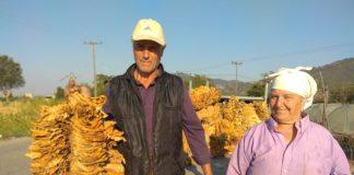 «Πικρός» ο Σεπτέμβριος για τους καπνοκαλλιεργητές της Ροδόπης