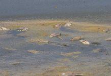 Χιλιάδες νεκρά ψάρια στην Κορώνεια - Η στάθμη της λίμνης κατέβηκε ως και στα 60 εκατοστά