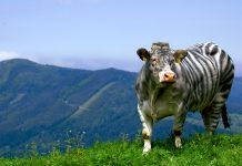 """Αγελάδες που """"μεταμφιέζονται"""" σε ζέβρες αποφεύγουν τα τσιμπήματα των μυγών"""