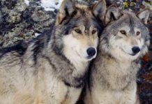 Μέτρα απομάκρυνσης ενός ζευγαριού λύκων που κυκλοφορεί στον Άγιο Αθανάσιο Κοζάνης