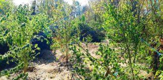 Τρίκαλα: 60χρονος καλλιεργούσε κάνναβη σε παραποτάμια περιοχή