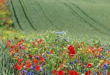 Αγρότες χρησιμοποιούν λουλούδια αντί για χημικά για να αντιμετωπίσουν τα παράσιτα