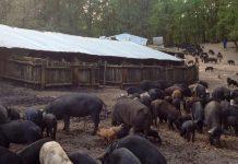 """Η ορεινή Χαλκιδική και τα διατροφικά """"μυστικά"""" του μαύρου χοίρου"""