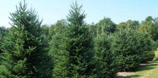 Στον Ταξιάρχη Χαλκιδικής θα φωταγωγηθεί το πρώτο Χριστουγεννιάτικο δέντρο για φέτος