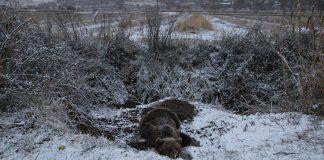 Αρκούδα παγιδεύτηκε σε θηλειά για αγριογούρουνα στις Πρέσπες