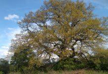 """Βουλγαρία: Μια βελανιδιά 500 ετών, το """"Δέντρο της Χρονιάς"""""""