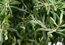 Τα φύλλα της ελιάς κατά των φλεγμονών και των ασθενειών της καρδιάς