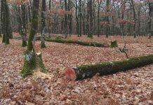 Ηλεία: Κυκλώματα λαθροϋλοτόμων καταστρέφουν το Δρυοδάσος της Φολόης και απειλούν τις δασικές Αρχές