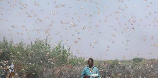 Σομαλία: Απεγνωσμένη έκκληση αγροτών λόγω εισβολής ακρίδων