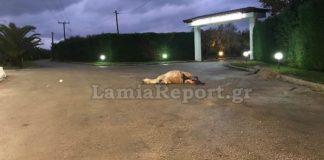 Στυλίδα: Νεκρό άλογο σε τροχαίο -Παρασύρθηκε και εγκαταλείφθηκε