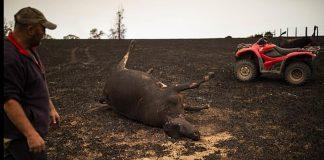 Απόγνωση στην Αυστραλία: Αγρότες θάβουν σε ομαδικούς τάφους τα καμένα ζώα τους
