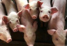 Ιταλία: Κατασχέθηκαν δέκα τόνοι ύποπτου για αφρικανική πανώλη χοιρινού, από την Κίνα