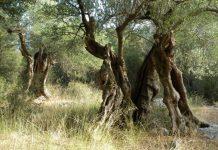 Κέρκυρα: Φυλάκιση ενός έτους προτείνει το Περιφερειακό για την κοπή ελαιόδεντρων